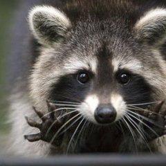 Московський зоопарк попереджає відвідувачів про єнотів-злодюжок (ВІДЕО)