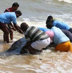 В Індії викинулися на берег 100 дельфінів