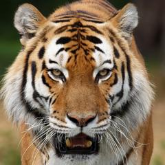 Кількість диких тигрів збільшилася вперше за останні 100 років
