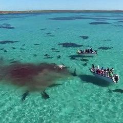 Сімдесят акул пошматували кита на очах у туристів (ВІДЕО)