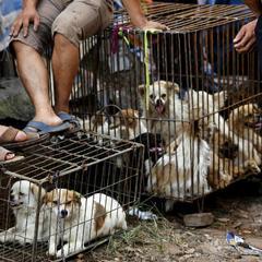 У Китаї протестують проти вживання у їжу собак