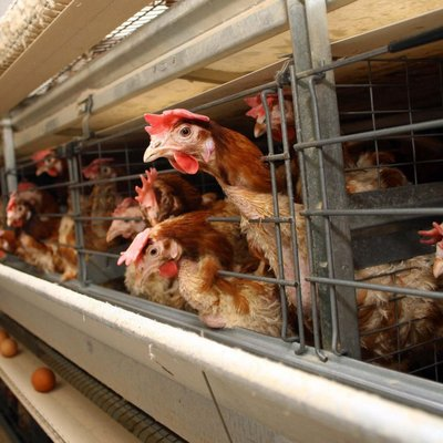 На Херсонщині зафіксували спалах пташиного грипу вперше за 8 років