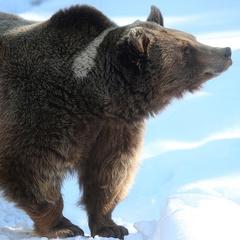 «Дави його! - в Якутії вахтовики на машинах  «Урал» задавили ведмедя (відео)