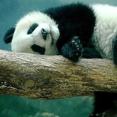 В Китаї панда покалічила чоловіка