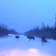 Канадський водій дивом зумів уникнути зіткнення з лосями, проїхавши між ними (відео)