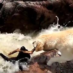 Лабрадор врятував товариша-пса з бурхливої річки (відео)