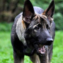 На Харківщині собака загриз насмерть 4-річну дитину