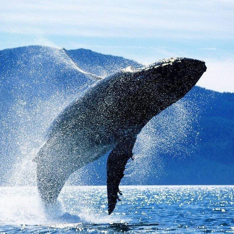 Сотні китів викинулись на берег Нової Зеландії (Фото)