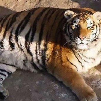 Мережу розчулили повненькі амурські тигри