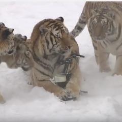 Амурські тигри збили та з
