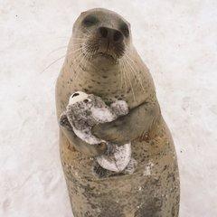 Радість японського тюленя від своєї іграшкової копії зворушила соцмережі (фото)