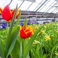 Цього року у столиці висадять рекордну кількість квітів