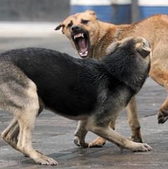 На Київщині масово труять собак