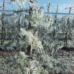 Польщу засипало снігом і позамерзав цвіт на деревах (Фото)