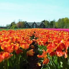 На Буковині розквітла Долина тюльпанів (фото)