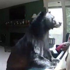 В штаті Колорадо ведмідь ввірвався у будинок і зіграв на піаніно (відео)