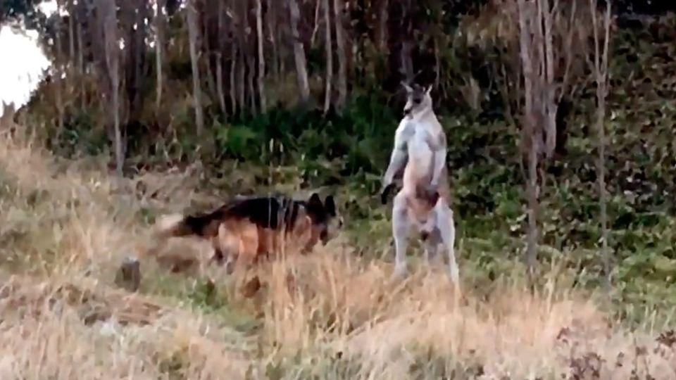 Епічна битва: вАвстралії кенгуру зійшовся удвобої з вівчаркою