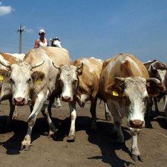 У Великобританії пенсіонера-мільйонера затоптало стадо корів