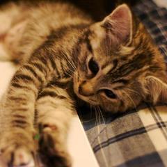 Створено сайт з безперервним муркотінням кота