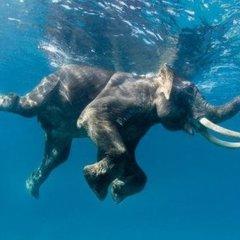 На Шрі-Ланці слон заплив на 16 кілометрів від берега: рятували 12 годин (відео)