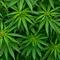 У Польщі легалізували медичну марихуану