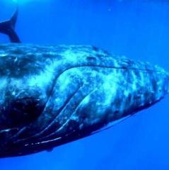 Мережу здивувало рідкісне явище, яке трапилося із 40-тонною китихою (відео)