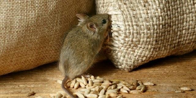 """""""Миші з'їли"""": з Держрезерву зникли 2700 вагонів зерна"""