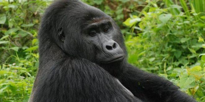 Браконьєр в Уганді отримав 11 років в'язниці за вбивство рідкісної горили