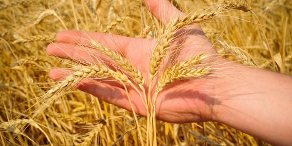 Вчені знайшли радіацію у зернових культурах, вирощених біля Чорнобиля