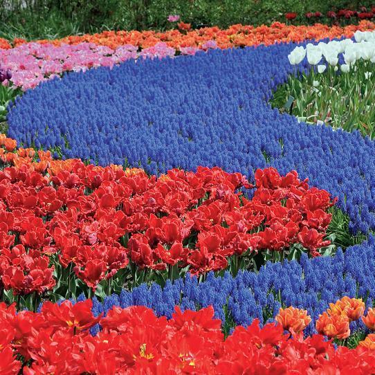 Росіяни поскаржилися на заражені голландські квіти