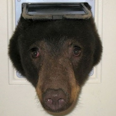 Голодний ведмідь застряг в отворі для кішок