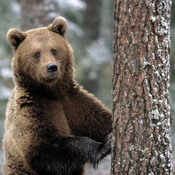 В Росії невідомі знущалися над ведмедем та давили його машиною (відео 18+)