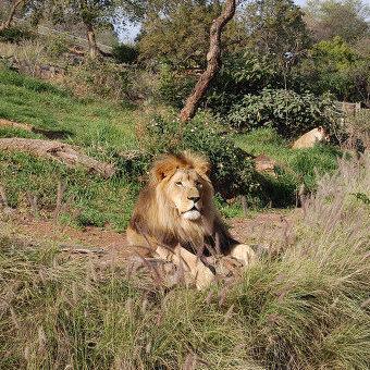 У Зімбабвійському заповіднику лев загриз гіда під час сафарі