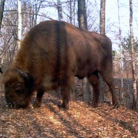 У Чорнобильській зоні з'явилися зубри та рідкісні коні