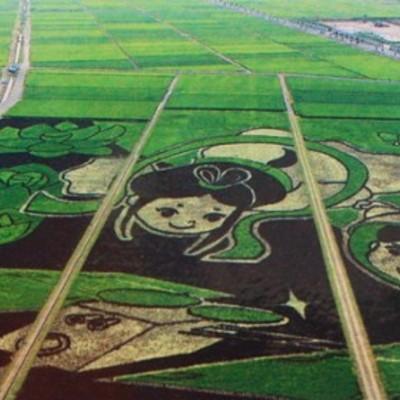В Японії рисове поле перетворили на шедевр мистецтва (ВІДЕО)
