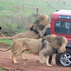 У Танзанії гід зняв напад левів на туристів (Фото)
