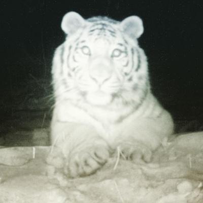 Тигр зробив селфі на фотопастку (ФОТО)