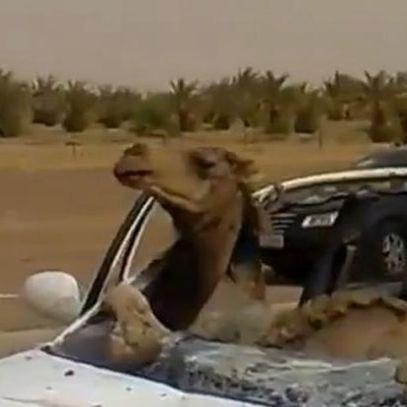 Відео: верблюд за кермом потрапив у ДТП