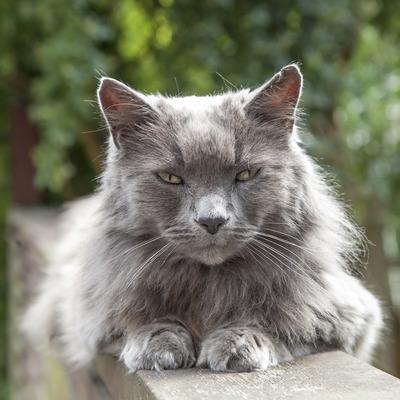 Кіт-втікач зі Швеції знайшовся у Франції