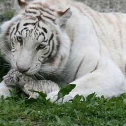 У Ялтинському зоопарку померло від холоду тигреня відомої Тигрюлі
