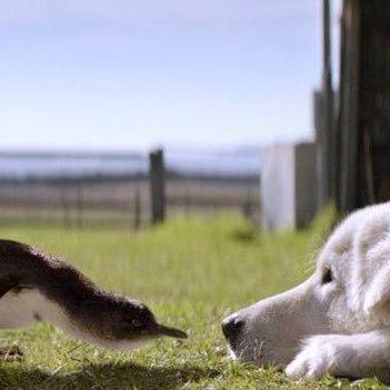 Як собаки врятували колонію карликових пінгвінів від лисиць