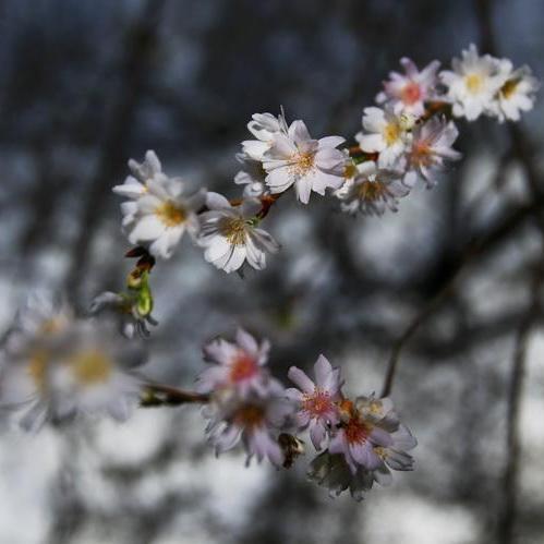 У Берліні розквітли вишні посеред зими (ФОТО)