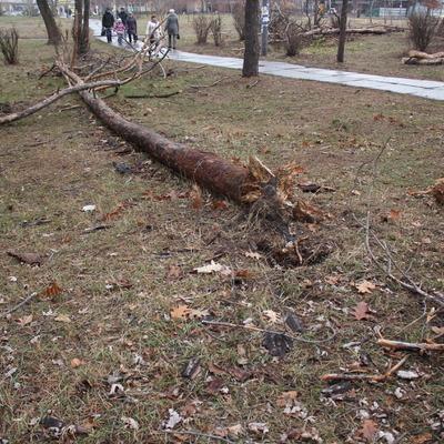 На вулиці А. Малишка, у парковій зоні, триває знищення багатолітніх сосен (фото)