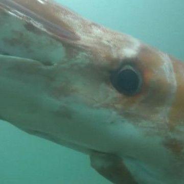 У японську бухту заплив велетенський кальмар (відео)