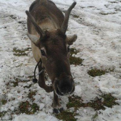 З уральської резиденції Діда Мороза викрали вже другого оленя