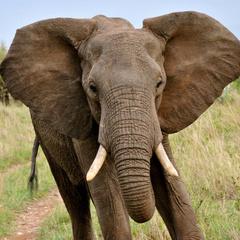 Біля українського кордону з вантажівки втік слон