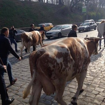 Ляшко із коровами перекрив вулицю Грушевського (ВІДЕО)