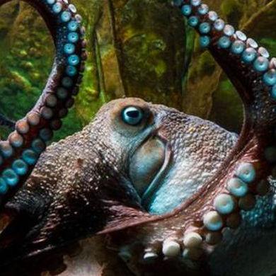 Восьминіг на прізвисько Чорнильний втік з новозеландського океанаріуму