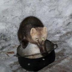 У заповіднику соболь вкрав продукти та застряг, коли тікав