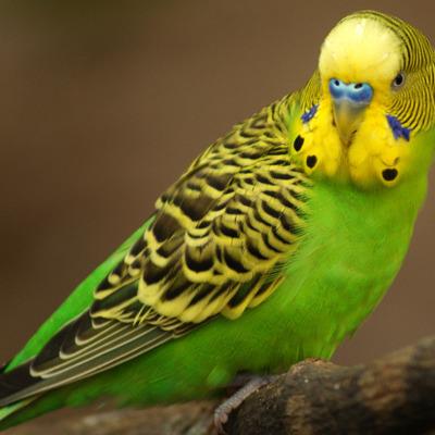 У Канаді сварка хазяїна з папугою призвела до приїзду поліції